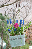 Muscari aucheri ( Traubenhyazinthen ) und Hyacinthus 'Jan Bos'
