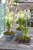 Hyacinthus 'White Pearl' ( Hyacinthen ) in blau-weißer Keramik
