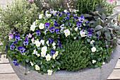 Viola cornuta ( Hornveilchen ), Thymus vulgaris ( Thymian ), Origanum