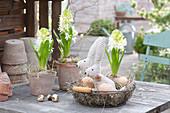 Hyacinthus 'White Pearl' ( Hyazinthen ), Drahtkorb mit Osterhasen