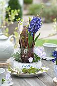 Hyacinthus 'Delft Blue' ( Hyazinthe ) ohne Erde in Glas mit Zweigen und Rinde