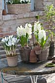 Hyacinthus 'White Pearl' ( Hyazinthen ) und  Crocus vernus 'Jeanne d'Arc'