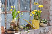 Frühling am Stallfenster : Narcissus 'Tete a Tete' ( Narzissen )