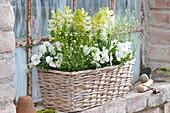 Hyacinthus 'White Pearl'  ( Hyazinthen ), Viola cornuta