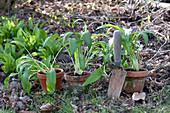 Allium ursinum ( Bärlauch ) in Tontöpfen und im Beet