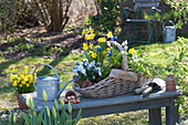 Narcissus 'Tete a Tete' ( Narzissen ), Viola cornuta 'Lavender Blush'