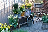 Frühlingsterrasse mit Narcissus 'Tete a Tete' ( Narzissen ), Tulipa 'Purissima'
