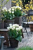 Tulipa 'Purissima' ( weiße Tulpen ) in Körben