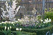 Weißes Frühlingsbeet : Prunus ( Zierkirschen ), Tulipa 'Purissima'
