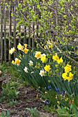 Narcissus ( Narzissen ) und Muscari ( Traubenhyazinthen ) unterm Fliederbusch