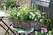 Korbkasten mit Galium odoratum ( Waldmeister ), Allium ursinum ( Bärlauch )