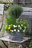 Thymus vulgaris ( Thymian ), Allium schoenoprasum ( Schnittlauch )
