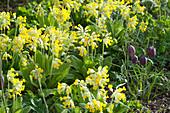 Primula veris ( Schlüsselblumen, Himmelsschlüssel ) und Fritillaria meleagris