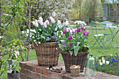 Tulipa 'Shirley' 'Purple Prince' ( Tulpen ), Anemone blanda