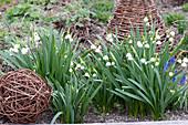 Leucojum vernum ( Märzenbecher, Frühlings-Knotenblume ) im Beet