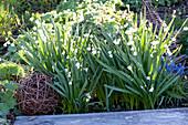 Leucojum vernum ( Märzenbecher, Frühlings-Knotenblume ), Muscari