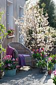 Frühlingsterrasse : Amelanchier lamarckii ( Felsenbirne ), Tulipa