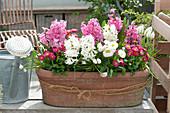 Hyacinthus 'White Pearl' 'Pink Pearl' ( Hyazinthen ), Bellis ( Tausendschön )