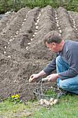 Mann legt Solanum tuberosum ( Kartoffeln ) in Pflanzrinnen