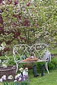 weiße Gartenbank vor Malus ( Zierapfel ), Beete mit Tulipa ( Tulpen )