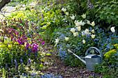 Frühlingsbeete mit Weg aus Rindenmulch : Tulipa 'Purissima' ( Tulpen )
