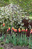 Tulipa 'Synaeda King' ( Lilienblütige  Tulpen ) und Malus