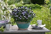 Viola cornuta Penny 'Mickey'  ( Hornveilchen ) in handgetöpferter Keramik