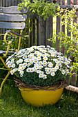 Argyranthemum frutescens ( Margerite ) in gelber Schale, Ranken