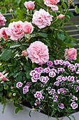 Kasten mit Rosa ( Rose ) und Dianthus 'Pink Kisses' ( Nelken )