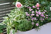 Pastell-lila Kasten mit Rosa ( Rose ), Dianthus 'Pink Kisses' ( Nelken