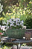 Narcissus 'Sun Disc' ( Narzissen ) und Viola cornuta ( Hornveilchen  )