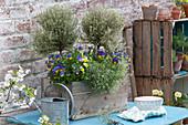Holzkasten mit Thymus citriodorus 'Silver Queen' ( Zitronenthymian ) und Viola cornuta Sorbet 'Morpho' ( Hornveilchen ), Gießkanne, Regal aus Holzkisten