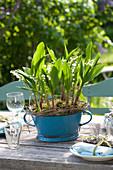 Convallaria majalis ( Maiglöckchen ) mit Moos und Ranken