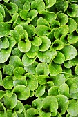 Green salad leaves with water droplets in a vegetable patch