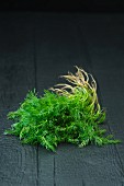 Fresh dill on a black background