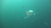 Jellyfish and fish, Thailand