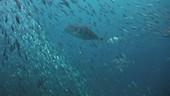 Predators attacking shoal of fish
