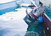 A seal in a research pool wearing research equipment, Marine Science Center, Warnemünde harbour, Germany