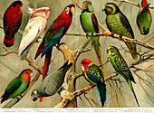 Parrots, 19th Century illustration