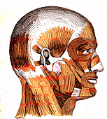 Human head muscles, 19th Century illustration