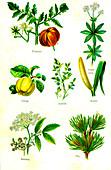 Edible and medicinal plants, 19th Century illustration