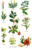 Edible and medicinal plants, 19th Century illustration