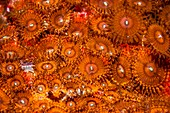 Zoanthid sea anemones, Indonesia