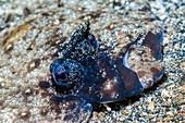Leopard flounder eyes, Indonesia