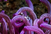 Cleaner shrimp on anemone, Indonesia
