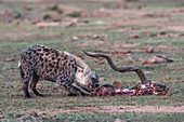 Spotted hyena scavenging on a dead kudu