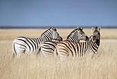 Zebras on a plain in Etosha National Park