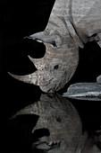 Black Rhinoceros at night