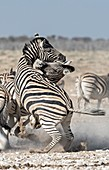 Burchell's zebras fighting