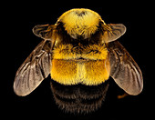 Rusty-patched bumblebee queen